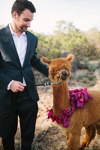 Anza valley rustic outdoor wedding at the alpaca farm groom navy blue suit with white dress shirt and no tie smiling wedding photo idea groom casual look with alpaca and pink flower decor
